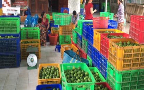 Một điểm thu mua chanh không hạt của Hợp tác xã Nông nghiệp Thạnh Phước.