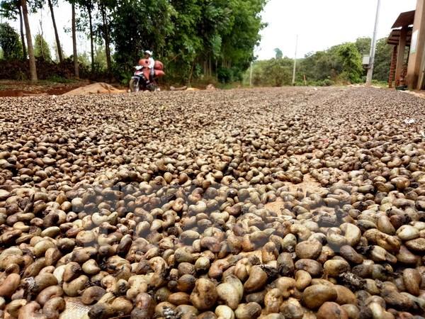 Bà con nông dân thu hoạch điều ở ấp Pa Bích, xã Tân Hưng, huyện Đồng Phú. (Ảnh: Dương Chí Tưởng/TTXVN)