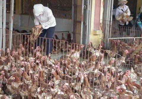 Theo các chuyên gia, cần kiểm soát chặt các tỉnh biên giới để tránh trường hợp gà nhập lậu tuồn vào Việt Nam trong dịp này