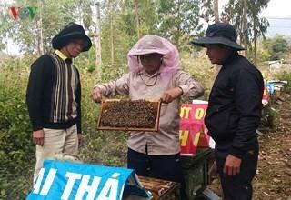 Kiểm tra đàn ong được nuôi dưới tán cao su