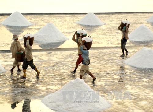Diêm dân huyện Đông Hải (Bạc Liêu) thu hoạch muối.