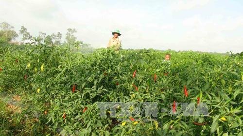 Nông dân huyện Châu Thành chăm sóc ruộng ớt sắp đến thời điểm thu hoạch. Ảnh: Thanh Hòa/TTXVN