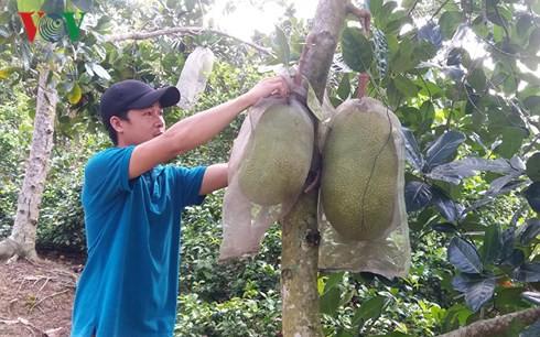 Nông dân Tiền Giang trúng đậm mùa mít Thái siêu sớm - Ảnh 1.