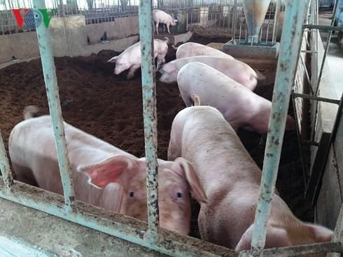 Lợn giống khan hiếm, nông dân Tiền Giang ngại tái đàn - Ảnh 1.