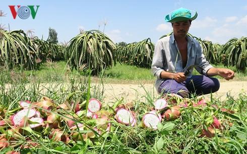 Giá thanh long Bình Thuận chỉ còn 500 đồng/kg vẫn không người mua  - Ảnh 1.