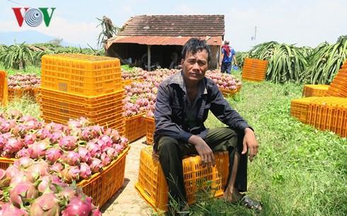 Giá thanh long Bình Thuận chỉ còn 500 đồng/kg vẫn không người mua  - Ảnh 2.