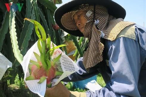 Người trồng thanh long bọc báo quanh trái chín chờ giá lên - Ảnh 2.