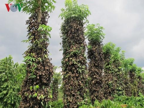 Nạn phá hoại hồ tiêu ở Đắk Lắk khiến nông dân điêu đứng - Ảnh 1.
