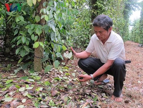 Nạn phá hoại hồ tiêu ở Đắk Lắk khiến nông dân điêu đứng - Ảnh 2.
