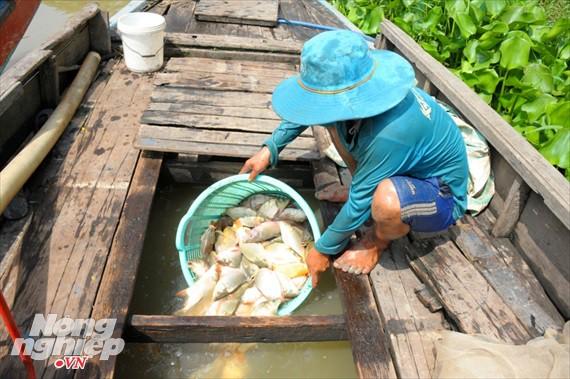 Cận cảnh nuôi cá ruộng mùa lũ ở miền Tây không cho ăn vẫn lớn như thổi - Ảnh 12.