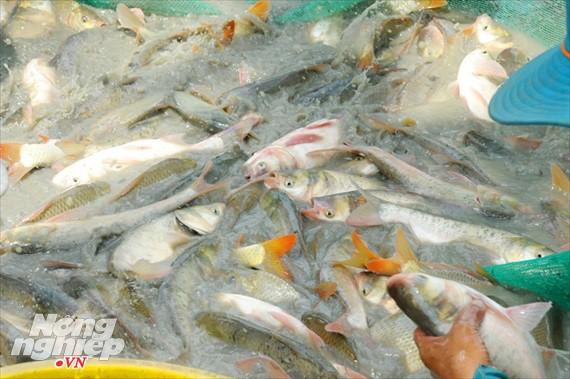 Cận cảnh nuôi cá ruộng mùa lũ ở miền Tây không cho ăn vẫn lớn như thổi - Ảnh 13.