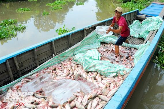 Cận cảnh nuôi cá ruộng mùa lũ ở miền Tây không cho ăn vẫn lớn như thổi - Ảnh 19.