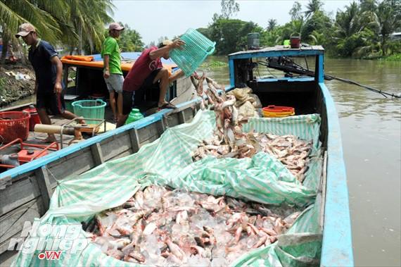 Cận cảnh nuôi cá ruộng mùa lũ ở miền Tây không cho ăn vẫn lớn như thổi - Ảnh 20.