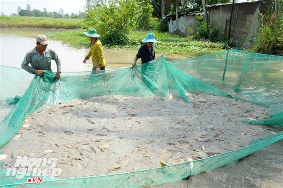 Cận cảnh nuôi cá ruộng mùa lũ ở miền Tây không cho ăn vẫn lớn như thổi - Ảnh 3.