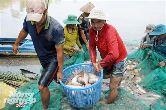 Cận cảnh nuôi cá ruộng mùa lũ ở miền Tây không cho ăn vẫn lớn như thổi - Ảnh 7.
