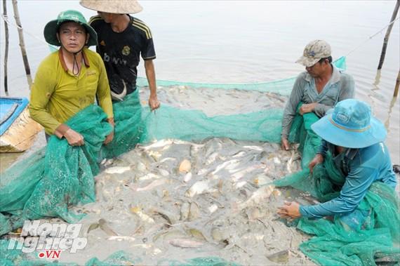 Cận cảnh nuôi cá ruộng mùa lũ ở miền Tây không cho ăn vẫn lớn như thổi - Ảnh 8.