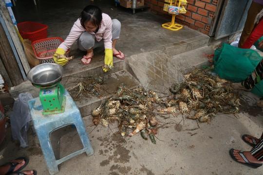 Tôm hùm ở Cam Ranh chỉ còn 100.000 đồng/kg sau bão - Ảnh 1.