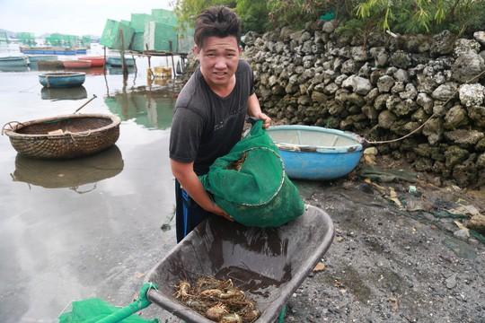 Tôm hùm ở Cam Ranh chỉ còn 100.000 đồng/kg sau bão - Ảnh 3.