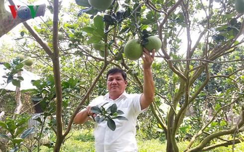 Trở thành tỷ phú nhờ trồng bưởi da xanh - Ảnh 1.