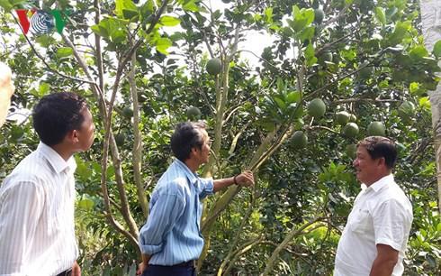 Trở thành tỷ phú nhờ trồng bưởi da xanh - Ảnh 2.