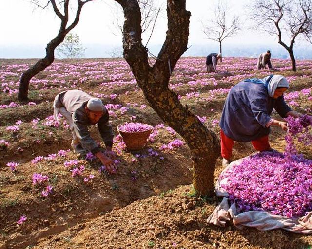 Vì sao nhụy hoa nghệ tây là loại gia vị đắt nhất thế giới, giá lên tới 10.000 USD/kg? - Ảnh 3.