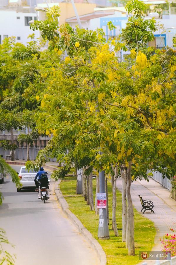 Chùm ảnh: Hoa Osaka rực rỡ nhuộm vàng đường phố Sài Gòn trong cái nắng tháng 4 - Ảnh 2.