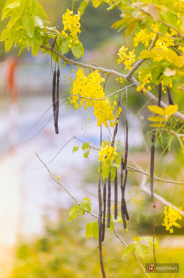 Chùm ảnh: Hoa Osaka rực rỡ nhuộm vàng đường phố Sài Gòn trong cái nắng tháng 4 - Ảnh 10.