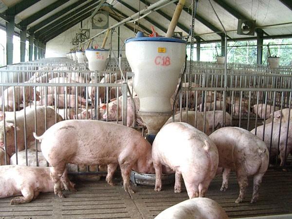 """Giá thịt lợn tăng cao, hộ chăn nuôi không nên """"găm"""" hàng tạo """"sốt ảo"""" - Ảnh 1."""