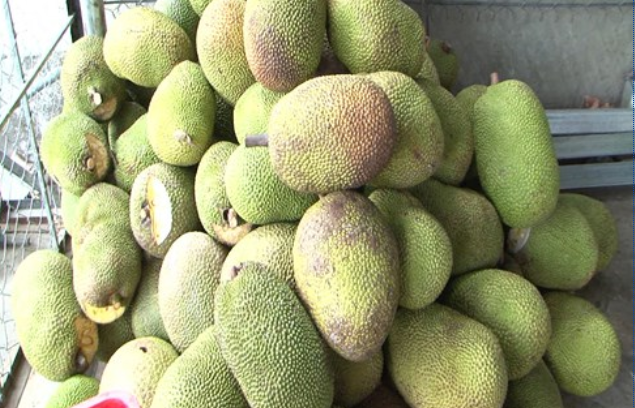 Mít thái tại vườn 5.000 đồng/kg, người tiêu dùng vẫn mua với giá cao gấp 4 lần - Ảnh 1.