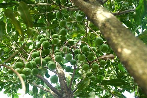 Đến năm 2020 Việt Nam sẽ trồng 10.000 ha cây mắc ca - Ảnh 1.