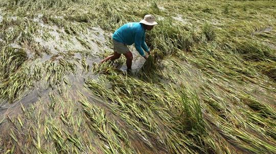 Nhà nông ĐBSCL lao đao vì mưa bão - Ảnh 1.