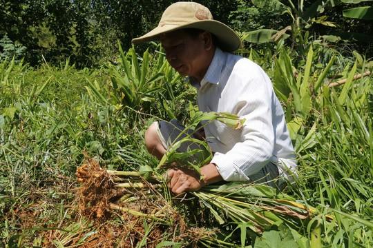 Hơn 100 tấn nghệ của nông dân Quảng Nam cần giải cứu - Ảnh 2.