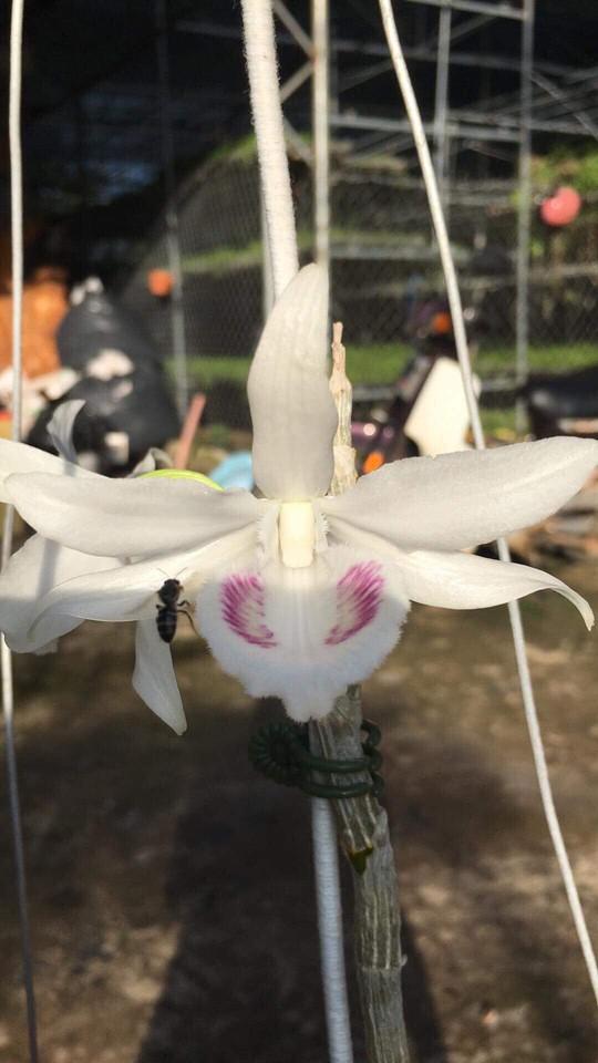Ngắm gốc lan giả hạc 5 cánh trắng giá gần 7 tỉ đồng - Ảnh 1.