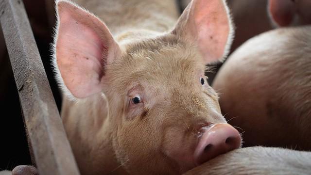 Trung Quốc: Đau đầu vì siêu virus trên lợn, nguy cơ đại dịch mới hoành hành Đông Nam Á - Ảnh 1.