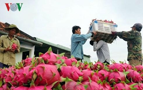 Giá thanh long trên địa bàn Bình Thuận bất ngờ tăng cao - Ảnh 1.