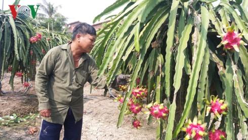 Hàng nghìn ha thanh long tại Tiền Giang chín đỏ chờ Tết - Ảnh 1.
