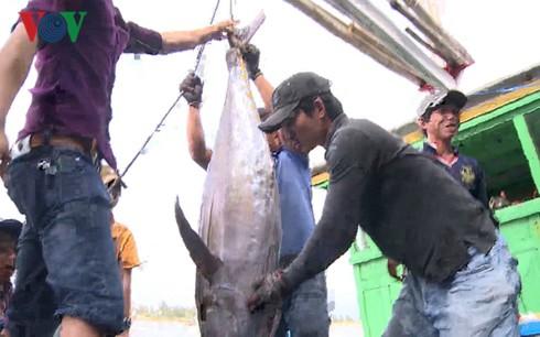 Đầu năm, ngư dân Phú Yên trúng đậm cá ngừ - Ảnh 1.