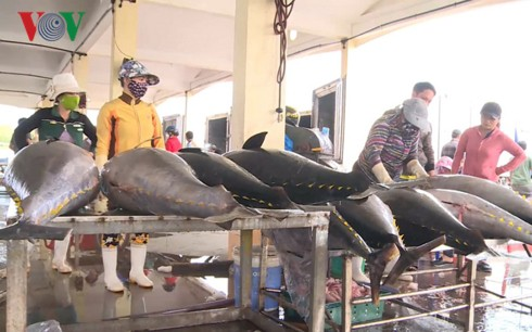 Đầu năm, ngư dân Phú Yên trúng đậm cá ngừ - Ảnh 2.