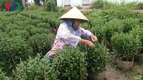Mưa bão, làng hoa Tết ở Tiền Giang và Bến Tre điêu đứng - Ảnh 1.