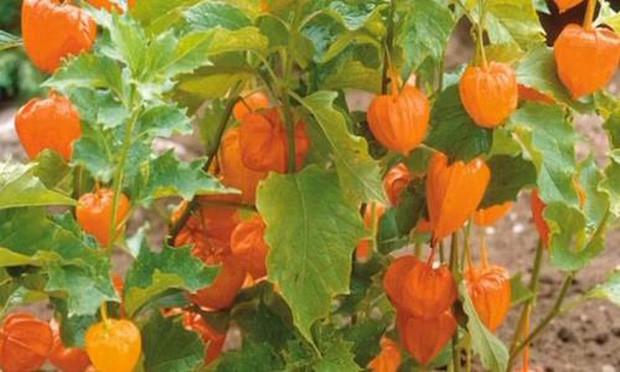 """Một loại quả mọc dại ở Việt Nam nhưng lại được bày bán """"sang chảnh"""" ở siêu thị nước ngoài, vài nơi còn không có đủ cho khách mua - Ảnh 7."""