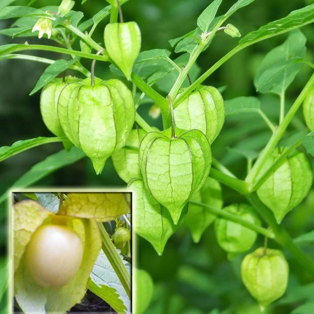 """Một loại quả mọc dại ở Việt Nam nhưng lại được bày bán """"sang chảnh"""" ở siêu thị nước ngoài, vài nơi còn không có đủ cho khách mua - Ảnh 8."""