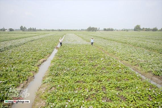 Vựa khoai lang lớn nhất miền Tây xuất khẩu sang Trung Quốc - Ảnh 1.