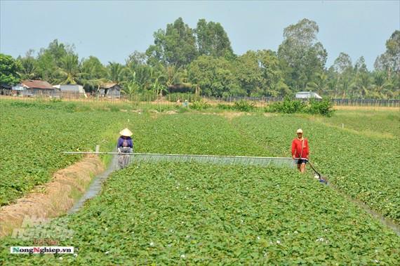 Vựa khoai lang lớn nhất miền Tây xuất khẩu sang Trung Quốc - Ảnh 2.