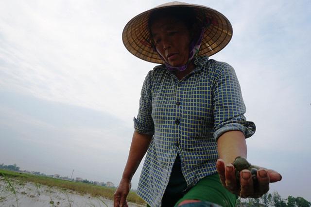 Hà Tĩnh: Thương lái thu mua hàng chục tấn ốc bươu vàng - Ảnh 1.