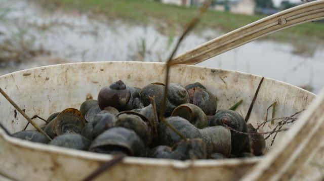 Hà Tĩnh: Thương lái thu mua hàng chục tấn ốc bươu vàng - Ảnh 2.