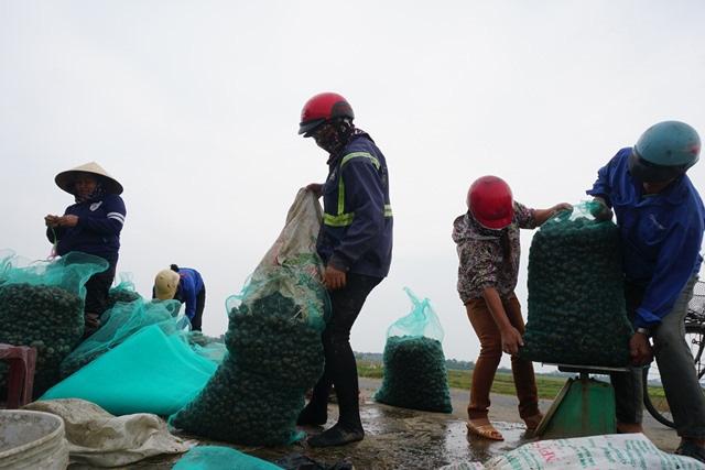 Hà Tĩnh: Thương lái thu mua hàng chục tấn ốc bươu vàng - Ảnh 4.