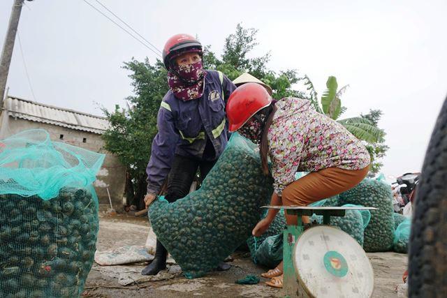 Hà Tĩnh: Thương lái thu mua hàng chục tấn ốc bươu vàng - Ảnh 5.