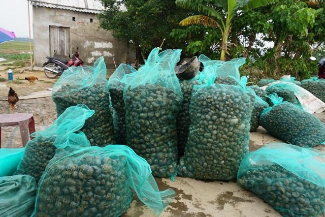 Hà Tĩnh: Thương lái thu mua hàng chục tấn ốc bươu vàng - Ảnh 6.