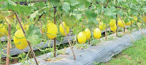 Câu chuyện đằng sau những trái dưa tiền tỉ của Nhật Bản: Căn nguyên từ tình yêu bất diệt của người trồng cây - Ảnh 6.
