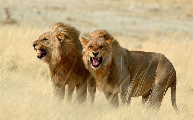 Sư tử dũng mãnh tuyệt đối không có sự so sánh, bất mãn hay thương hại, muốn thành công bạn phải học cách mài răng nanh, luyện những guồng chân chạy không nghỉ ngơi - Ảnh 1.